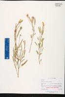 Cienfuegosia yucatanensis image