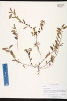 Corchorus aestuans image