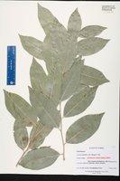 Drypetes lateriflora image