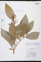 Image of Solanum acuminatum