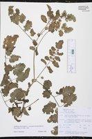 Solanum peruvianum image