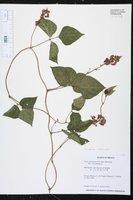 Phaseolus coccineus image