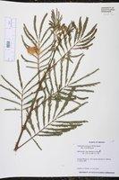 Calliandra tetragona image