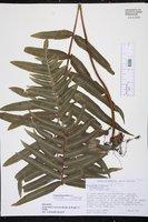 Polypodium dulce image