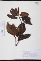 Gomidesia lindeniana image