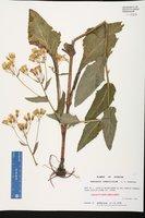 Hasteola robertiorum image