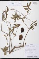 Image of Aspidosperma triternatum