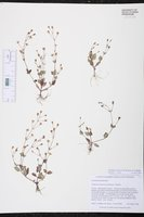 Lindernia crustacea image