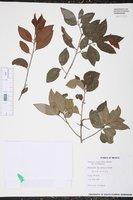 Wimmeria concolor image