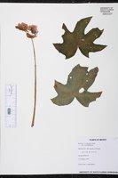 Begonia lindleyana image