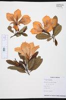 Erblichia odorata image