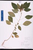 Acalypha arvensis image