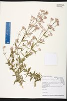 Chromolaena ivifolia image