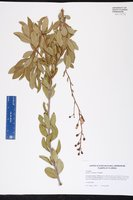 Bejaria racemosa image