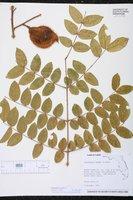 Caesalpinia bonduc image