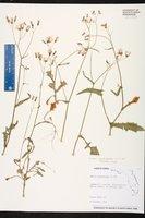 Emilia sonchifolia image