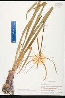 Hymenocallis henryae image