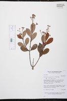 Image of Forsteronia guyanensis