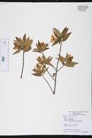 Turnera ulmifolia image