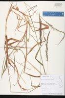 Melinis minutiflora image