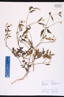 Alternanthera flavescens image
