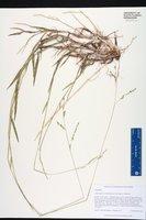 Amphicarpum muehlenbergianum image