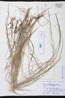 Sporobolus jacquemontii image