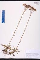 Carphephorus carnosus image
