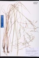 Eragrostis atrovirens image