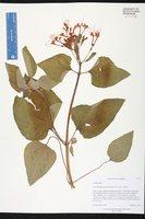 Clerodendrum speciosissimum image