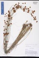 Rhynchospora leptocarpa image