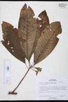 Pouteria campechiana image