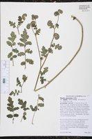 Phacelia ramosissima var. latifolia image