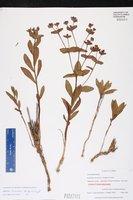 Euphorbia rosescens image
