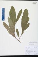 Asimina pygmea image
