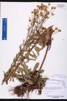 Chrysopsis delaneyi image
