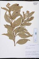 Image of Solanum argenteum