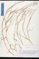 Hemarthria altissima image