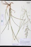 Coleataenia anceps image