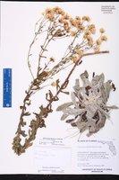 Chrysopsis scabrella image
