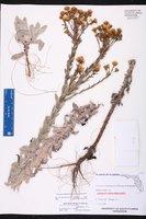 Chrysopsis highlandsensis image