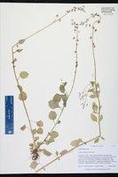 Lobelia homophylla image
