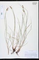 Carex complanata var. hirsuta image