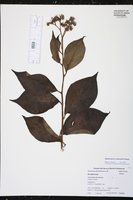 Heliotropium verdcourtii image