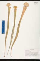 Image of Sarracenia x mooreana