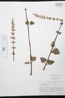 Plectranthus amboinicus image
