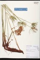 Cyperus prolifer image