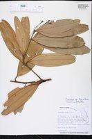 Cinnamomum iners image