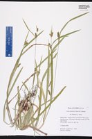 Carex gholsonii image