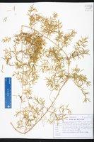 Asparagus aethiopicus image
